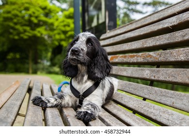 Young  black and white spaniel lying in a park on a bench and looking up