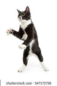 Young black and white tuxedo cat standing on hind legs with paws up
