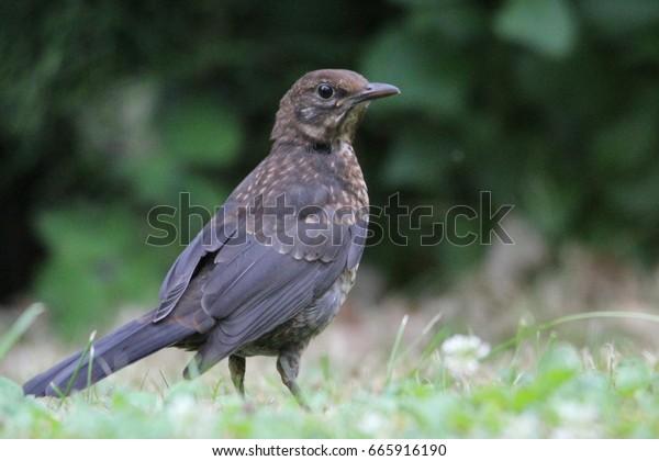 Young Blackbird in a Garden