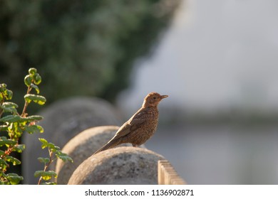 a young blackbird sits on a fence post