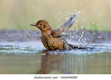 Young blackbird takes a bath in a pond on the Lemelerberg, the Netherlands