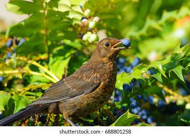 Young Blackbird, Turdus merula, feeding on ripe Mahonia aquifolium berries in a Cotswold garden, Painswick, Gloucestershire, United Kingdom