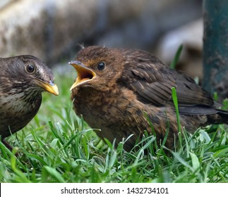Young blackbird waiting to be fed by parent.