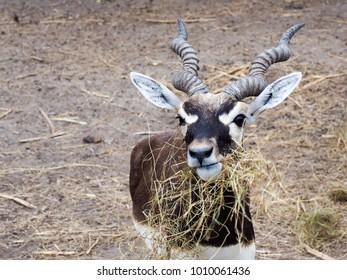 A young Blackbuck feeding dry grass