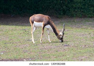 Young blackbuck male (Antilope cervicapra) is grassing.