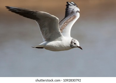Young black-headed gull flying above lake. Cute common waterbird. Bird in wildlife.
