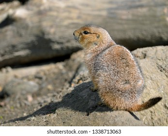 Young black-tailed Prairie Dog (Cynomys ludovicianus) on a rock seen from behind