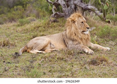 A young blonde lion relaxes in the open