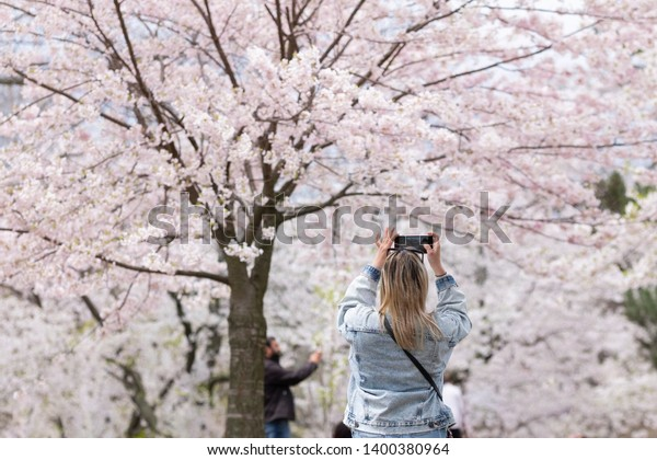 Young blonde woman taking pictures of cherry tree branches with white and pink flowers in full blossom. Selective focus, blurred background, shallow depth of field. Space for copy. High Park, Toronto.
