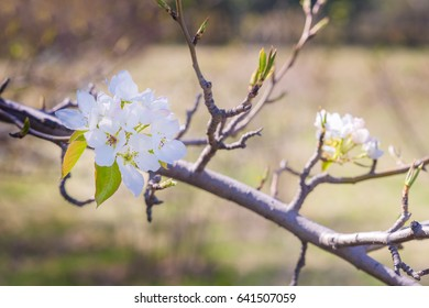 Young blossoming apple tree on the sky background with sunlight