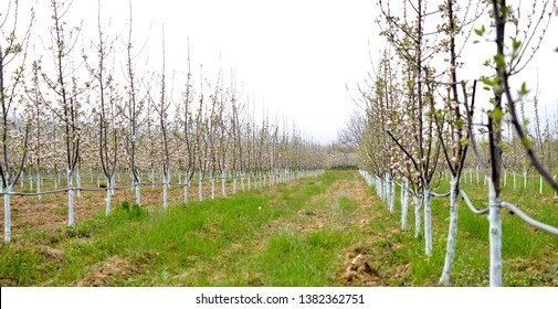 young blossoming apple trees in april treated with Bordeaux mixture to combat mildew. Bordeaux mixture is allowed in organic agriculture and protects against blight and other diseases in plants.