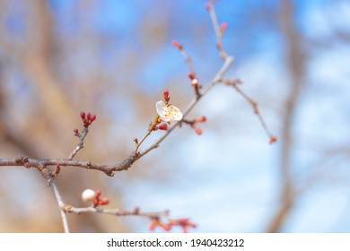 Young blossoming sakura branch on a sunny spring day. Awakening a new life. Beautiful floral background, atmospheric mood. Selective focus.