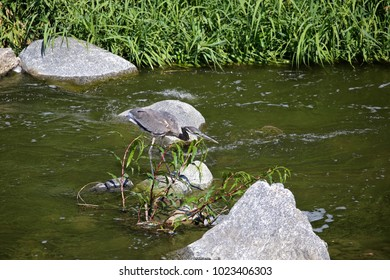 A young Blue Heron is quietly preparing to catch its next meal.