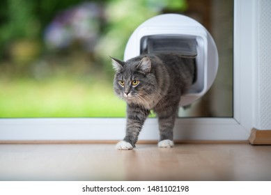 young blue tabby maine coon cat coming home passing through cat flap in window in front of garden looking ahead