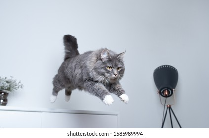 young blue tabby maine coon cat with white paws jumping off a white cupboard indoors