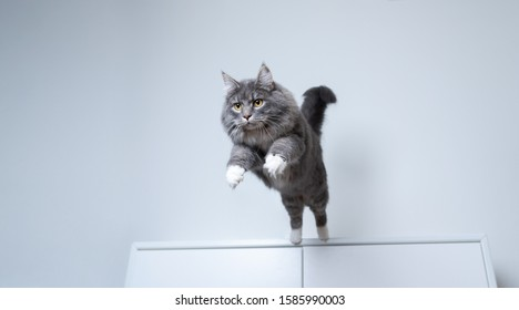 young blue tabby maine coon cat with white paws jumping off a white cupboard indoors with copy space