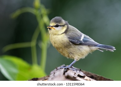 young blue tit