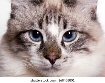 young blue-eyed cat closeup