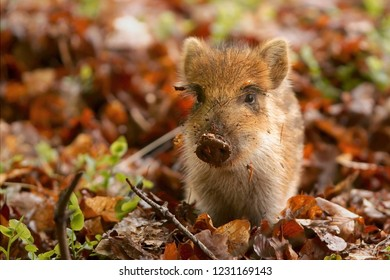 Young boar looking at the camera