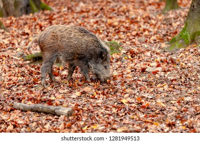 The young boar is looking for fresh food under the autumn leaves.