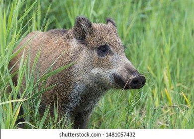 A young boar playing in the grass