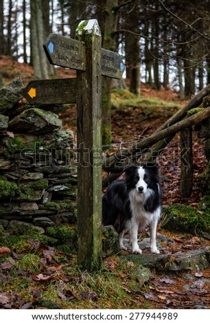 A young Border Collie, by a signpost in the Lake District