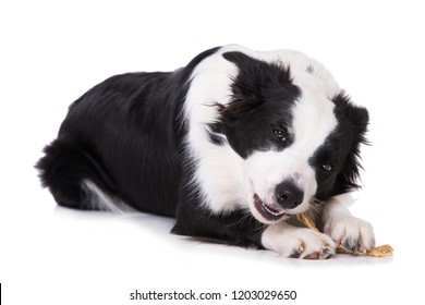 Young border collie dog with bone isolated on white background