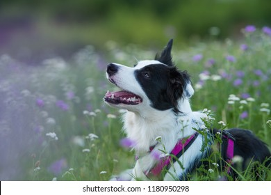 Young border collie dog lying in a flower meadow