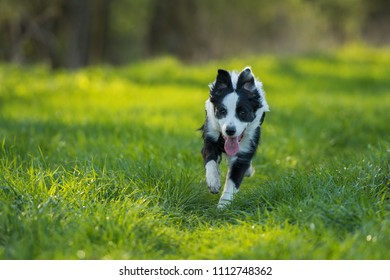 Young border collie dog in a meadow