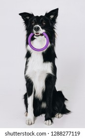 Young border collie dog sits and holds puller toy in teeth. Studio portrait isolated on white background.