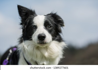Young border collie looking to the camera