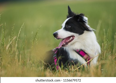 Young border collie lying in a summer meadow