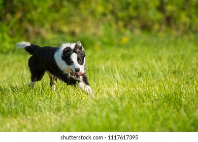 Young border collie running in a meadow