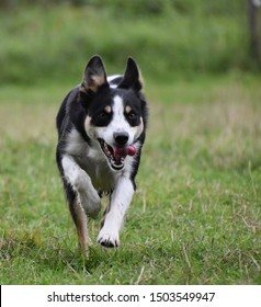 Young border collie running on grass
