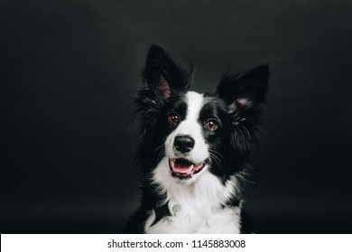 Young border collie smiles. Happy dog. Studio portrait isolated on black background.