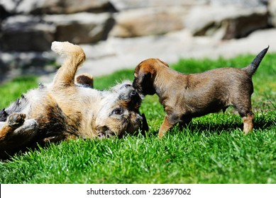 Young Border Terrier puppy is playing with its mother. The adult dog is teaching her offspring gently. The dogs playing together in the backyard on a sunny day in summer. The puppy is 5 weeks of age.