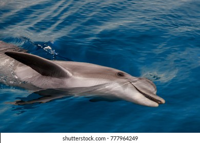 The young Bottlenose dolphin is swimming in red sea near the beach in shallow water