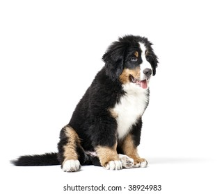 Young Bouvier Bernois or Berner Sennen, portraied on white background