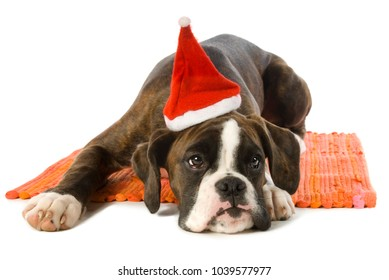 Young boxer dog with santa hat lying on white background