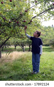 young boy in an apple orchard picking the fruit