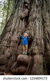 Young boy climbs a growth on a huge tree along the Lady Bird Johnson Grove Trail in the California Redwoods National Park in coastal Northwest California.