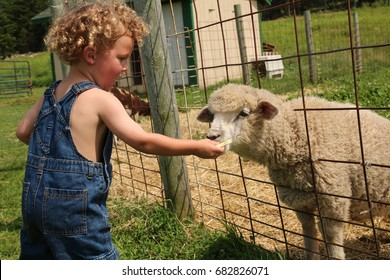A young boy is feeding a sheep through a fence. The little boy has a head of blonde curls and is wearing blue overalls with no shirt. He gives the sheep food with his hand. Farmer, country, child, kid