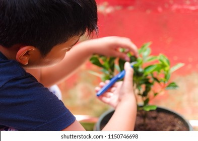 Young boy harvesting calamansi fruit from a home garden