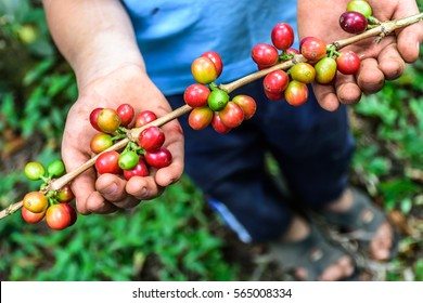Young boy holds branch of ripening coffee beans, Antigua, Guatemala, Central America