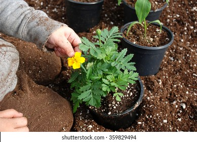 Young boy sitting in a bin of soil transplanting a marigold plant inside a greenhouse