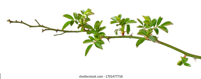 Young branch of a rose isolated on a white background. A branch of roses in early spring. Part of a rose bush with spikes on a white background. Green rose leaves isolated on a white background.