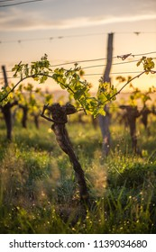 Young branch with sunlights in Bordeaux vineyards, France