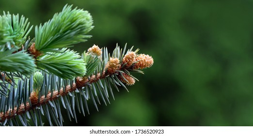 young branches of a spruce tree. blooming spruce. spruce in spring. close up. selective focus. copy space