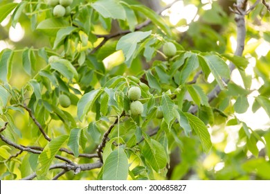 young branches of the walnut