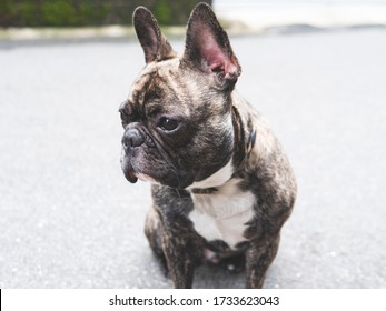 Young brindle French bulldog sitting at roadside and look away ,small cute black dog side view portrait , dog outdoor concept